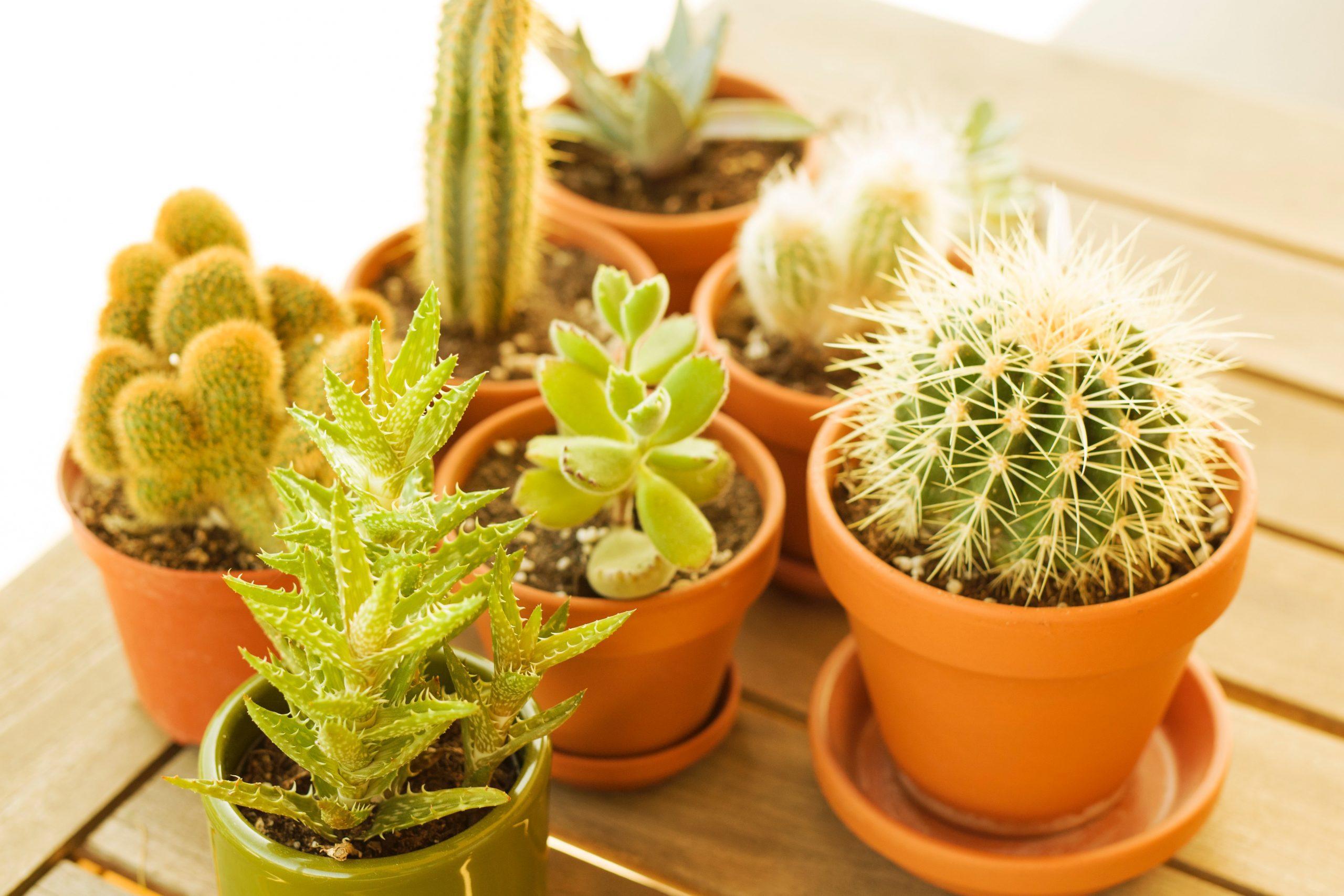 8 Cara Merawat Kaktus Mini di Apartment