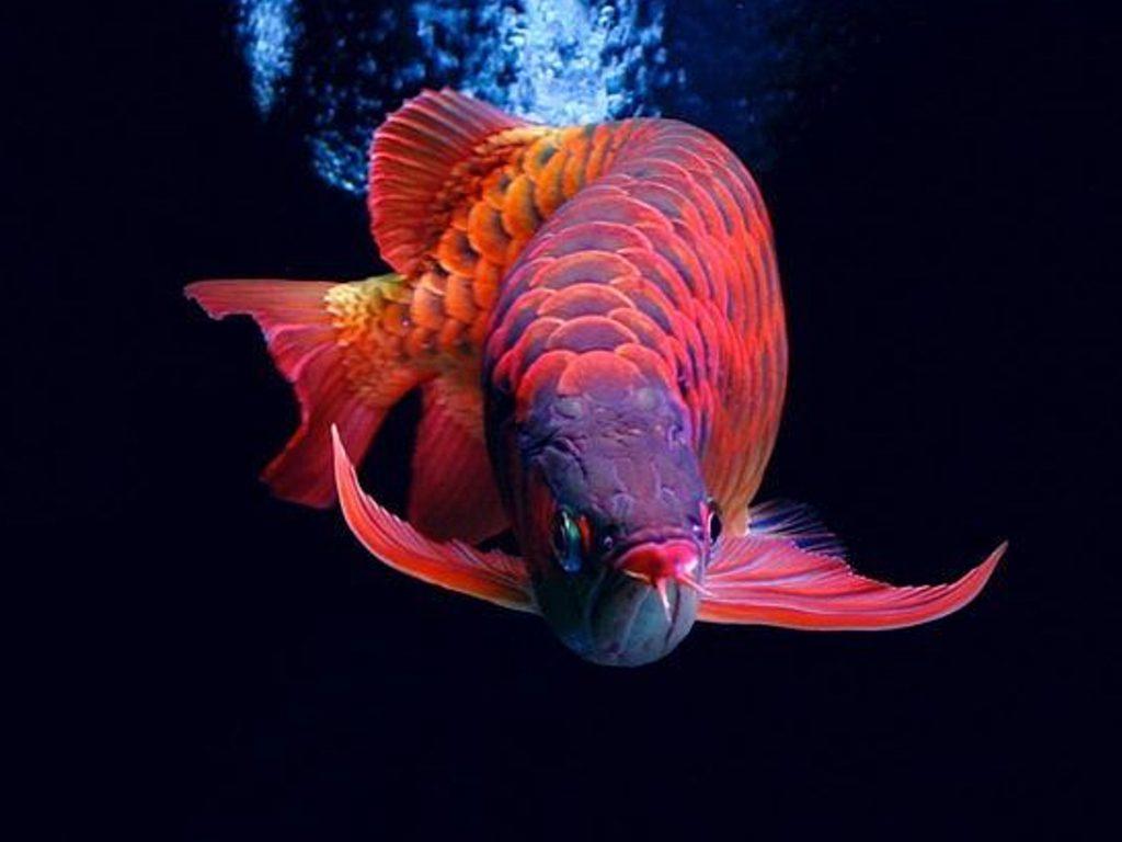 7 Ikan Hias Termahal Di Dunia Bernilai Miliaran Rupiah | Sangat Langka & Indah!